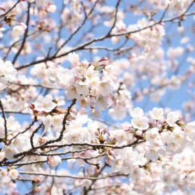 町内の桜が見頃を迎えます♪