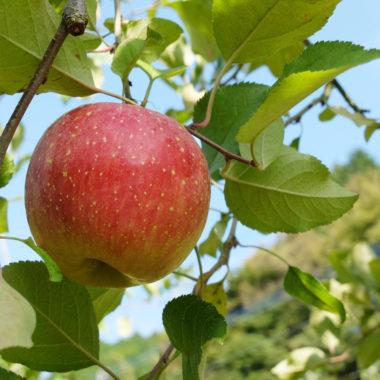 リンゴの木のオーナー募集を開始します